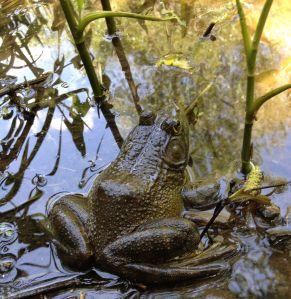 Frog Princw